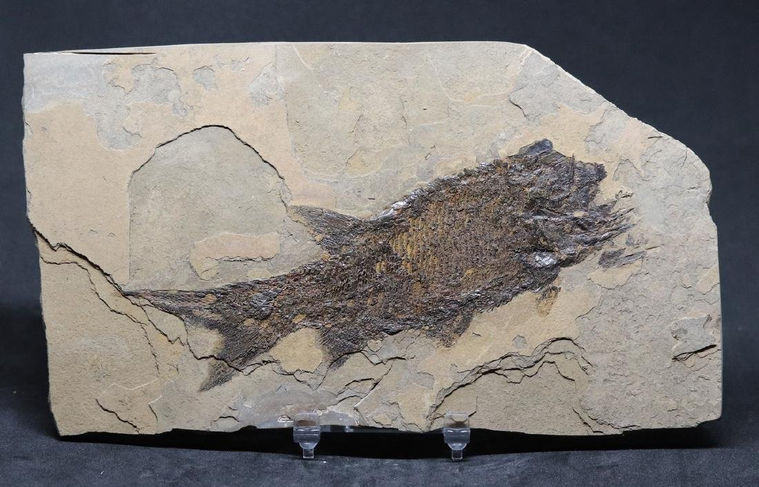 Paleozoic fossil fish : Paramblypterus duvernoyi