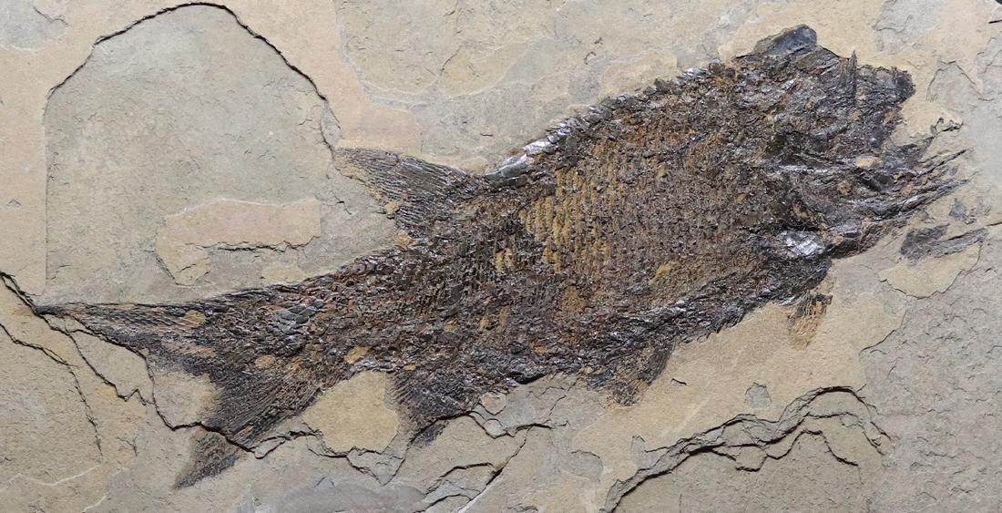 Paleozoic fossil fish : Paramblypterus duvernoyi - 2