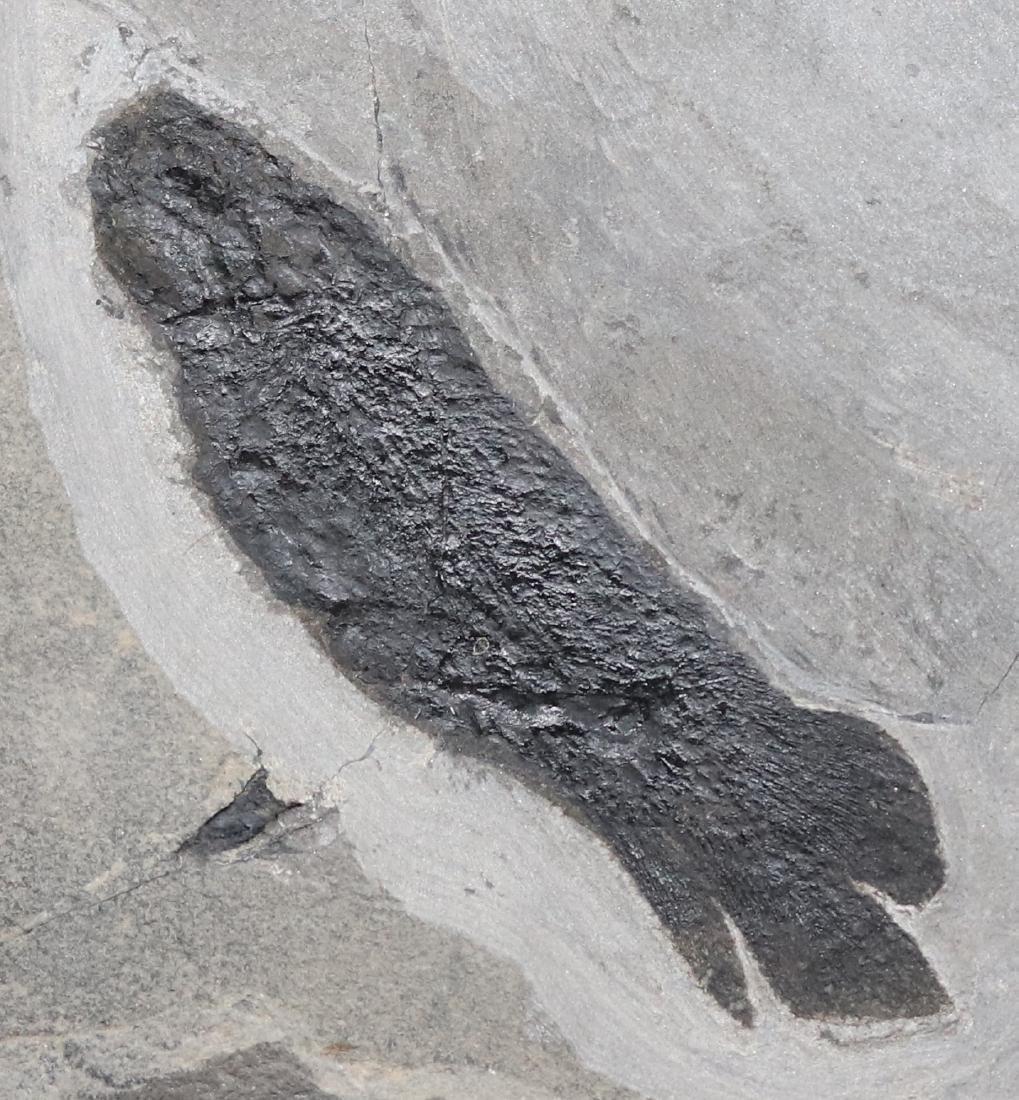 Paleozoic lungfish fossil : Pentlandia macroptera