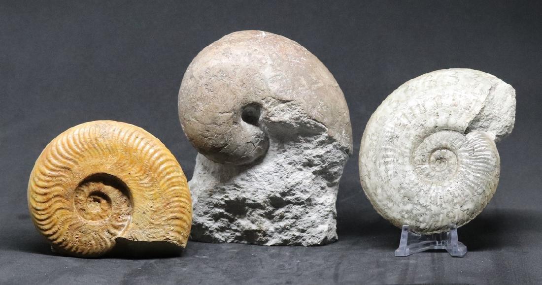 3 jurassic fossils : two ammonites and a nautiloïd