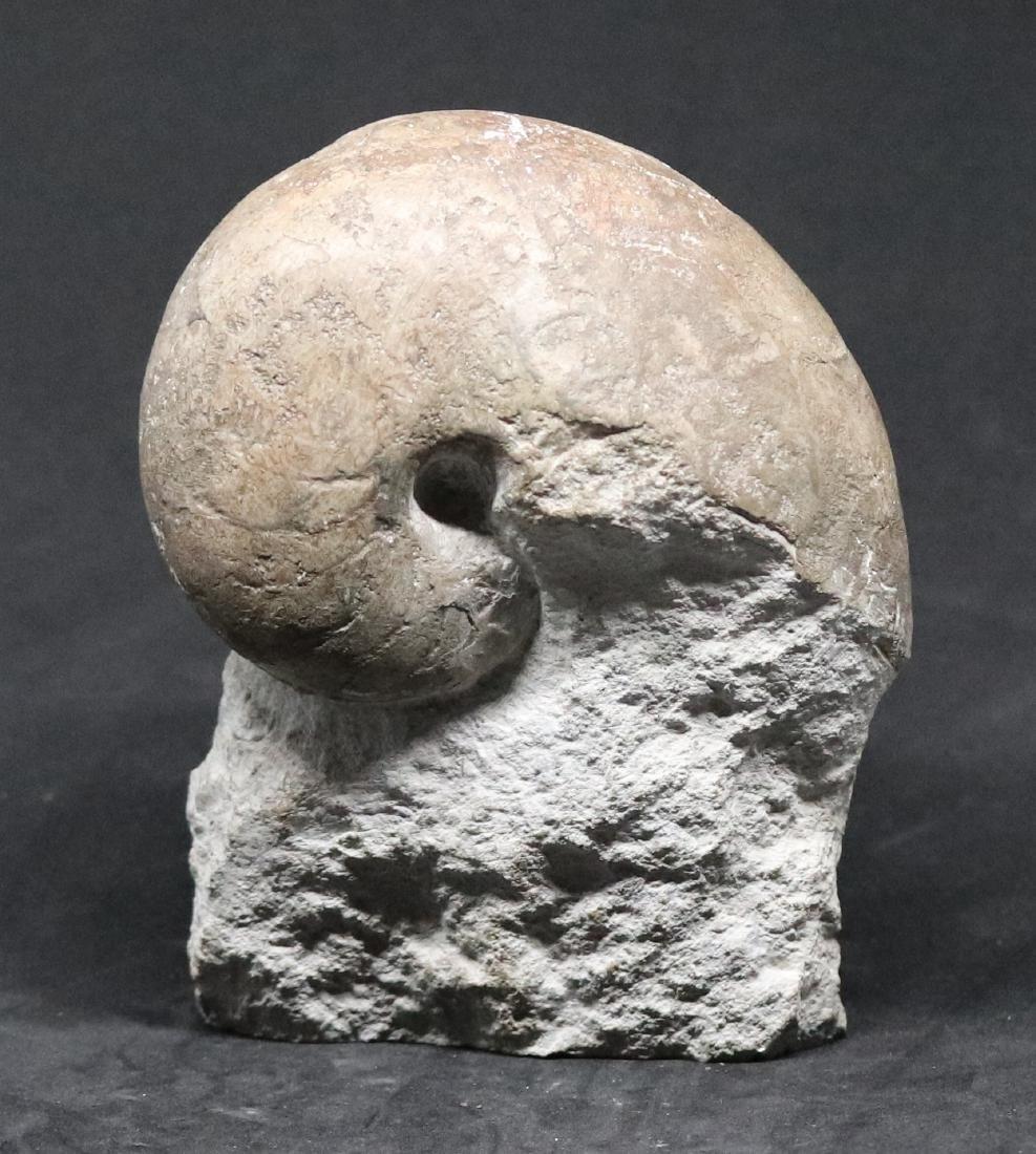 3 jurassic fossils : two ammonites and a nautiloïd - 2