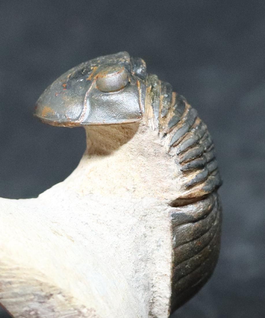 Fossil trilobite : Paralejurus spatuliformis