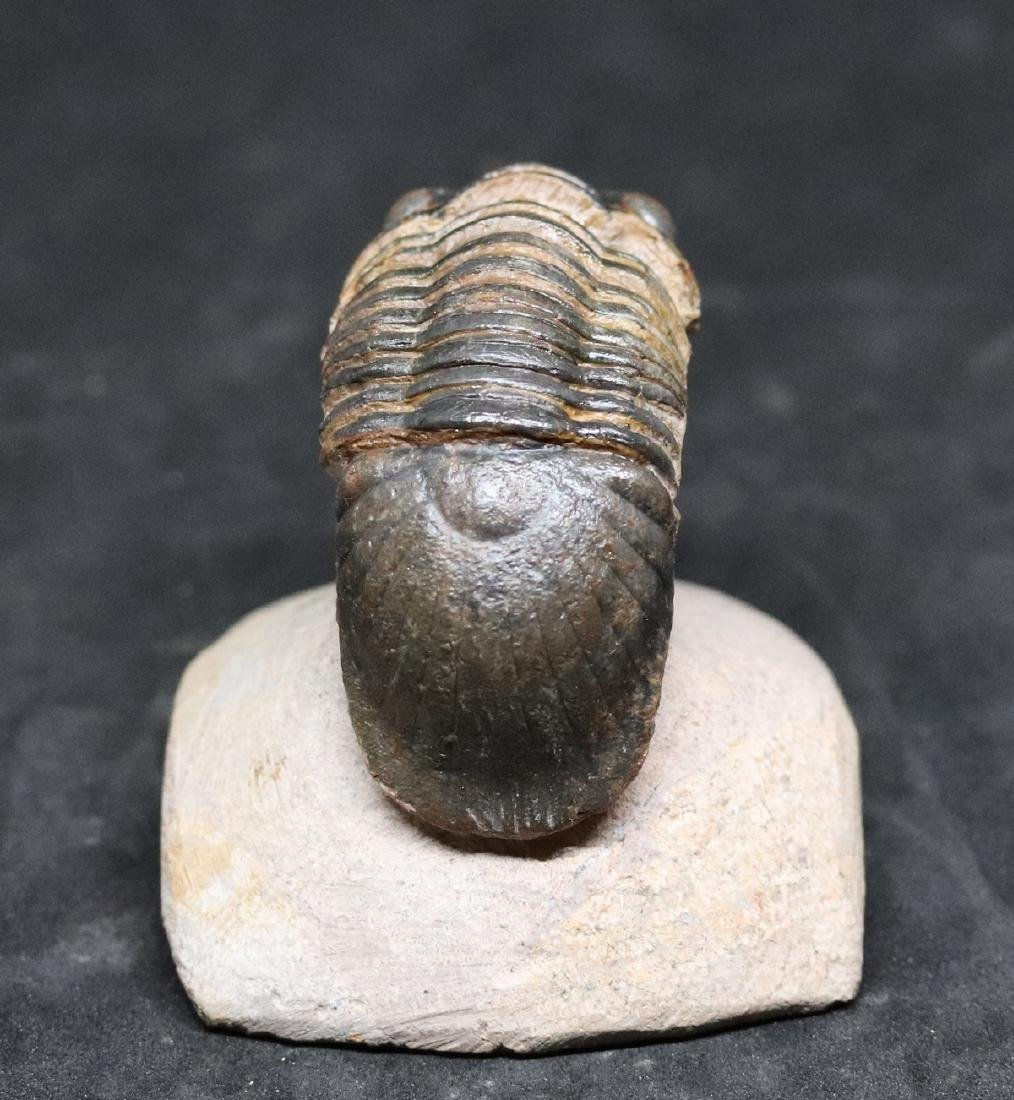 Fossil trilobite : Paralejurus spatuliformis - 4