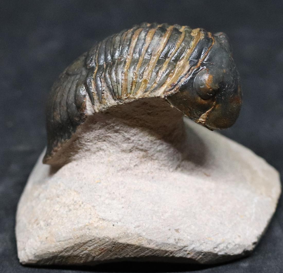 Fossil trilobite : Paralejurus spatuliformis - 5
