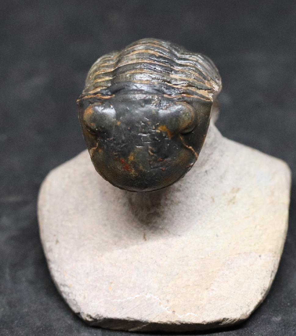 Fossil trilobite : Paralejurus spatuliformis - 6