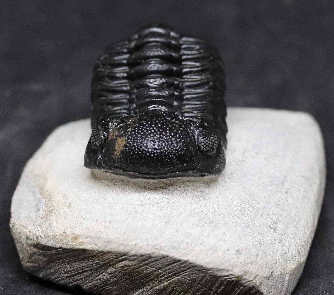 Fossil trilobite : Barrandeops granulops - 2