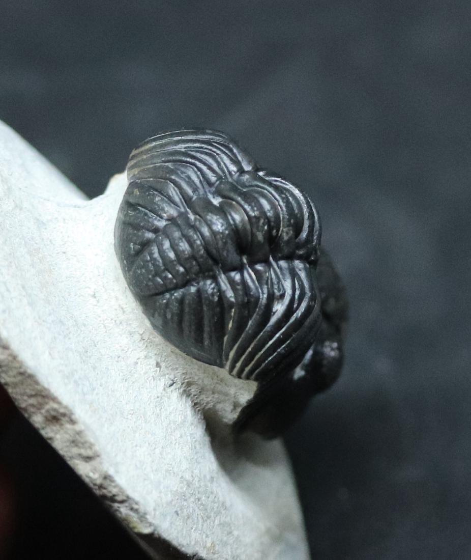 Fossil trilobite : Barrandeops granulops - 7