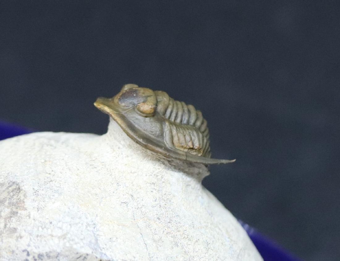 Fossil trilobite : Diademaproetus antatlasius - 2