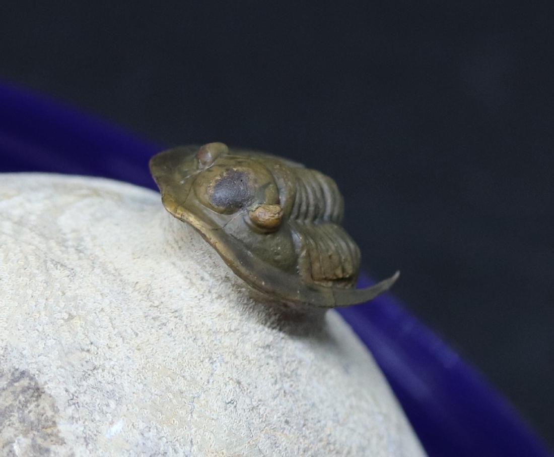 Fossil trilobite : Diademaproetus antatlasius - 3