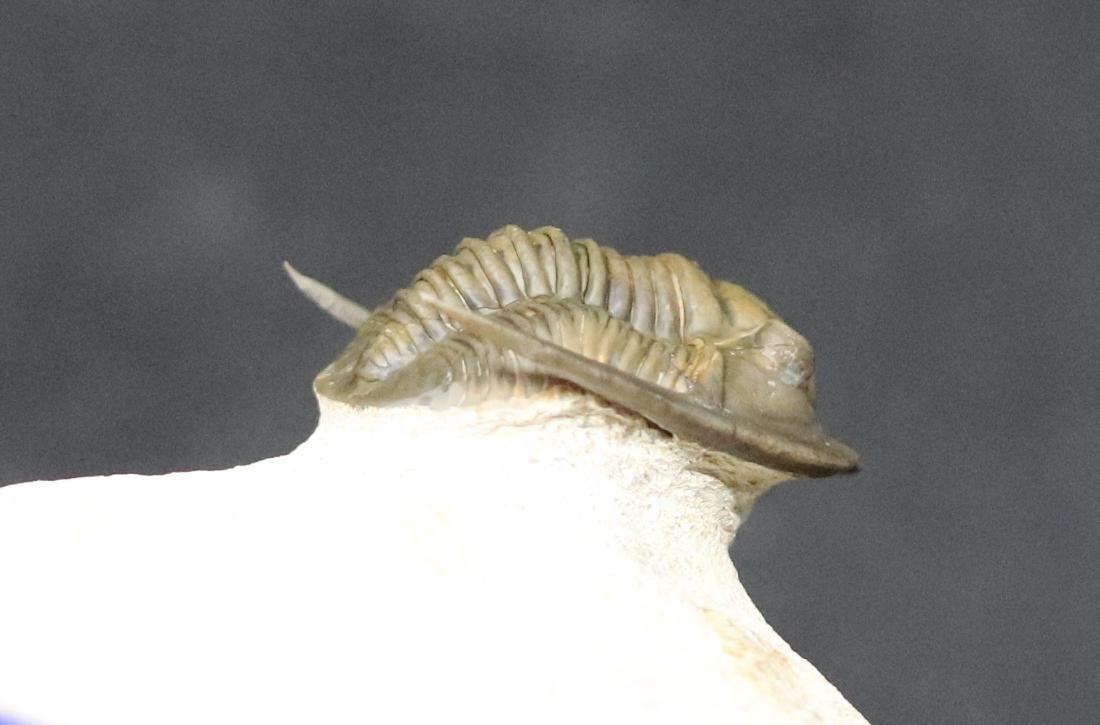 Fossil trilobite : Diademaproetus antatlasius - 7