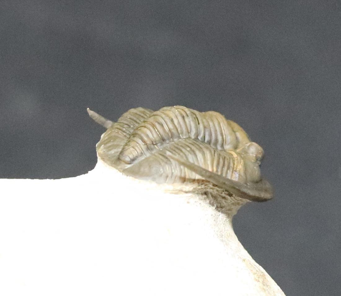 Fossil trilobite : Diademaproetus antatlasius - 8