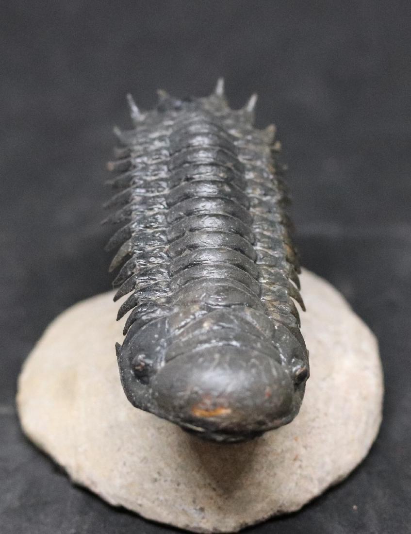 Fossil trilobite : Crotalocephalus gibbus - 2