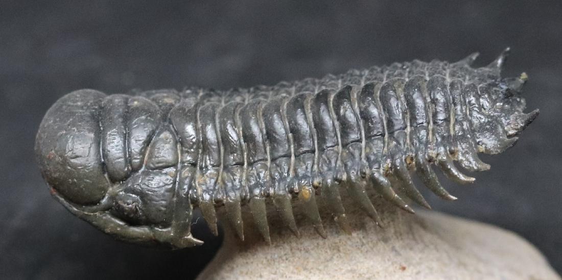Fossil trilobite : Crotalocephalus gibbus - 4