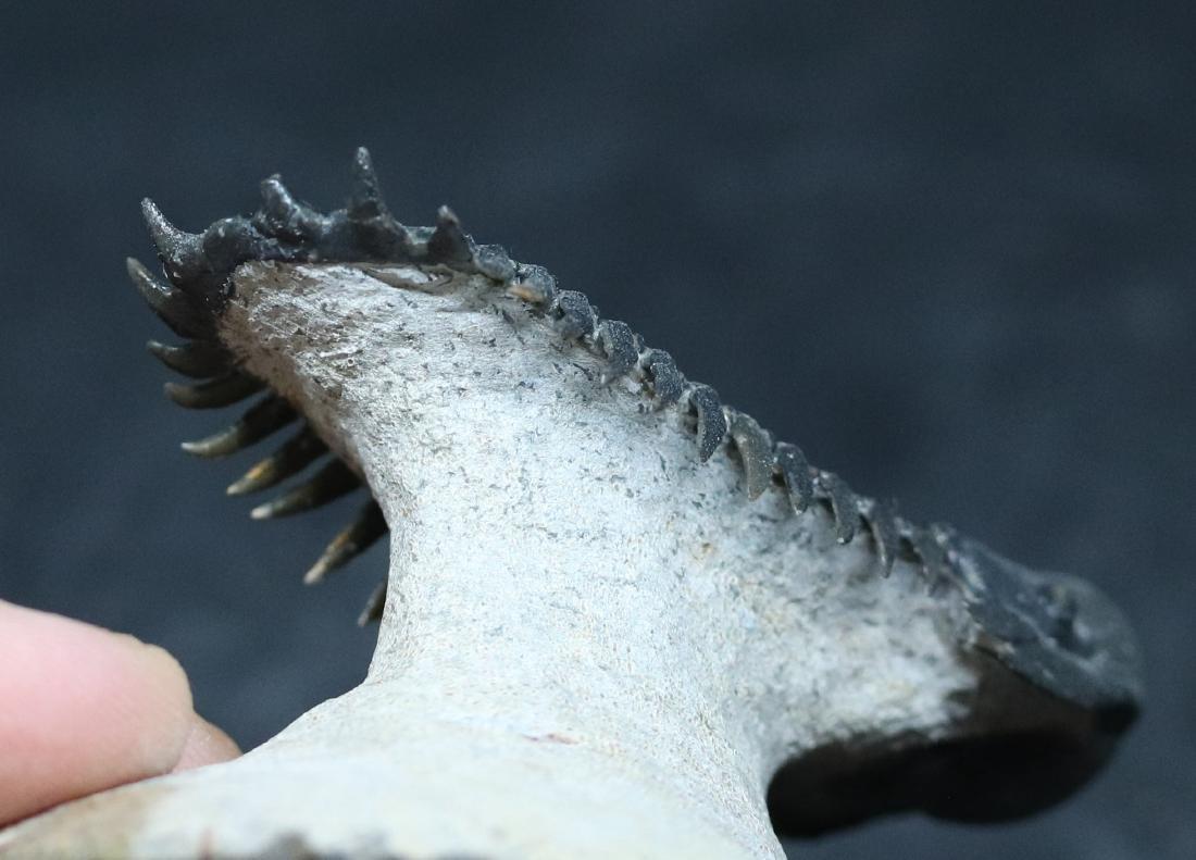 Fossil trilobite : Crotalocephalus gibbus - 8