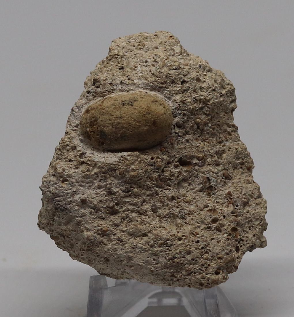 Fossil snake egg : Ophidienovum