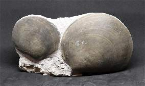 Jurassic fossil shell : Plagiostoma gigantea