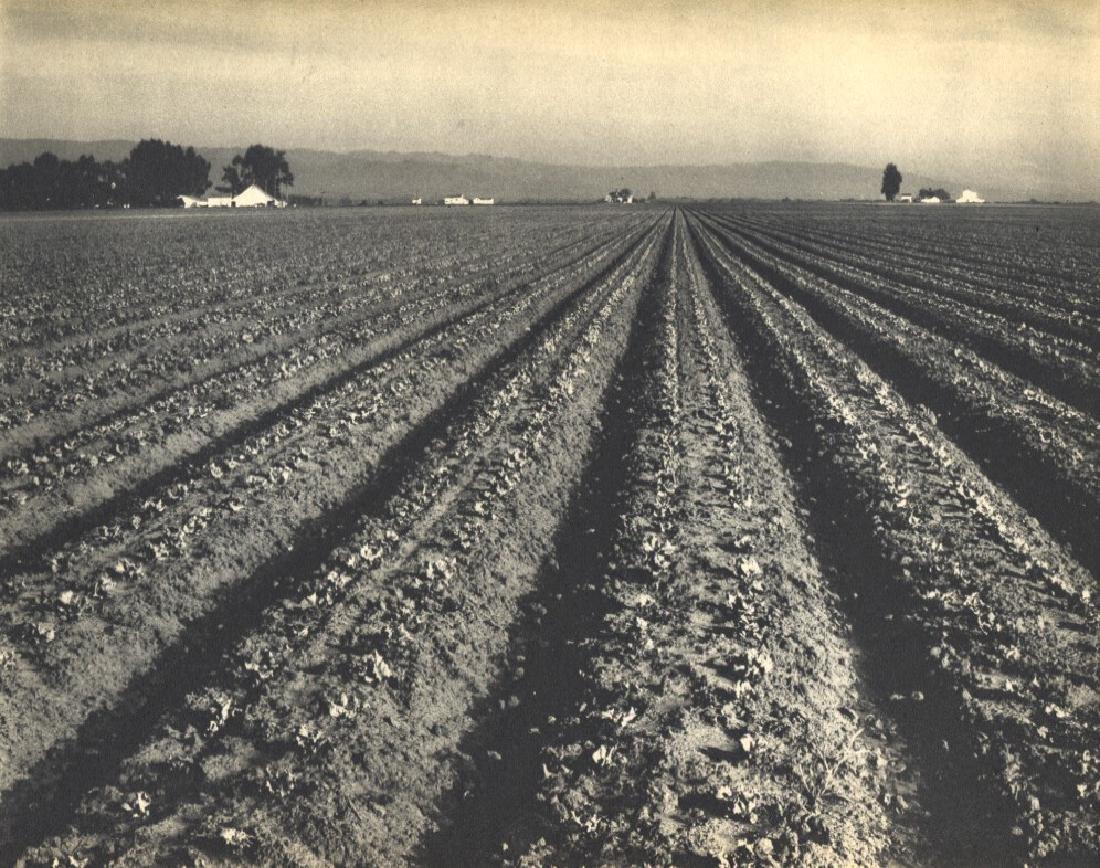 EDWARD WESTON - Lettuce Ranch
