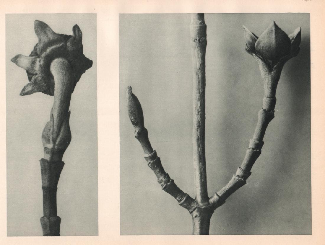 KARL BLOSSFELDT - Picea excelsa