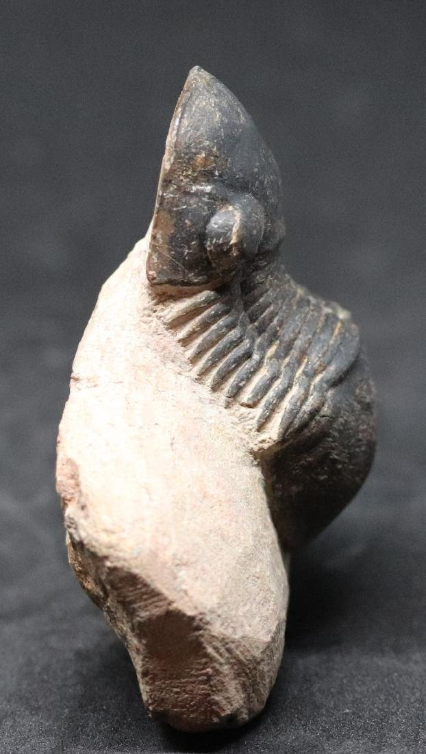 Fossil trilobite : Paralejurus rehamnanus - 4