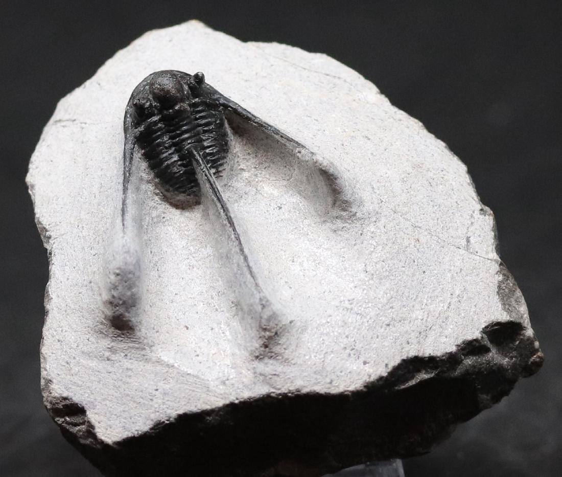 Fossil trilobite : Cyphaspis boutscharafinense