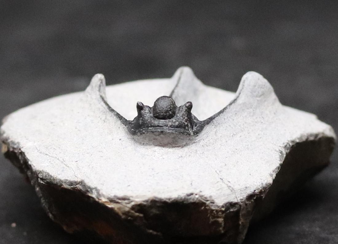 Fossil trilobite : Cyphaspis boutscharafinense - 2