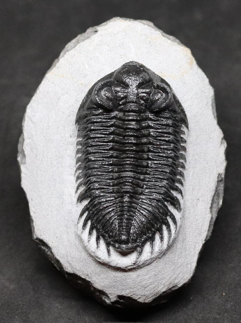 Tower eyes fossil trilobite : Coltraneia oufatensis