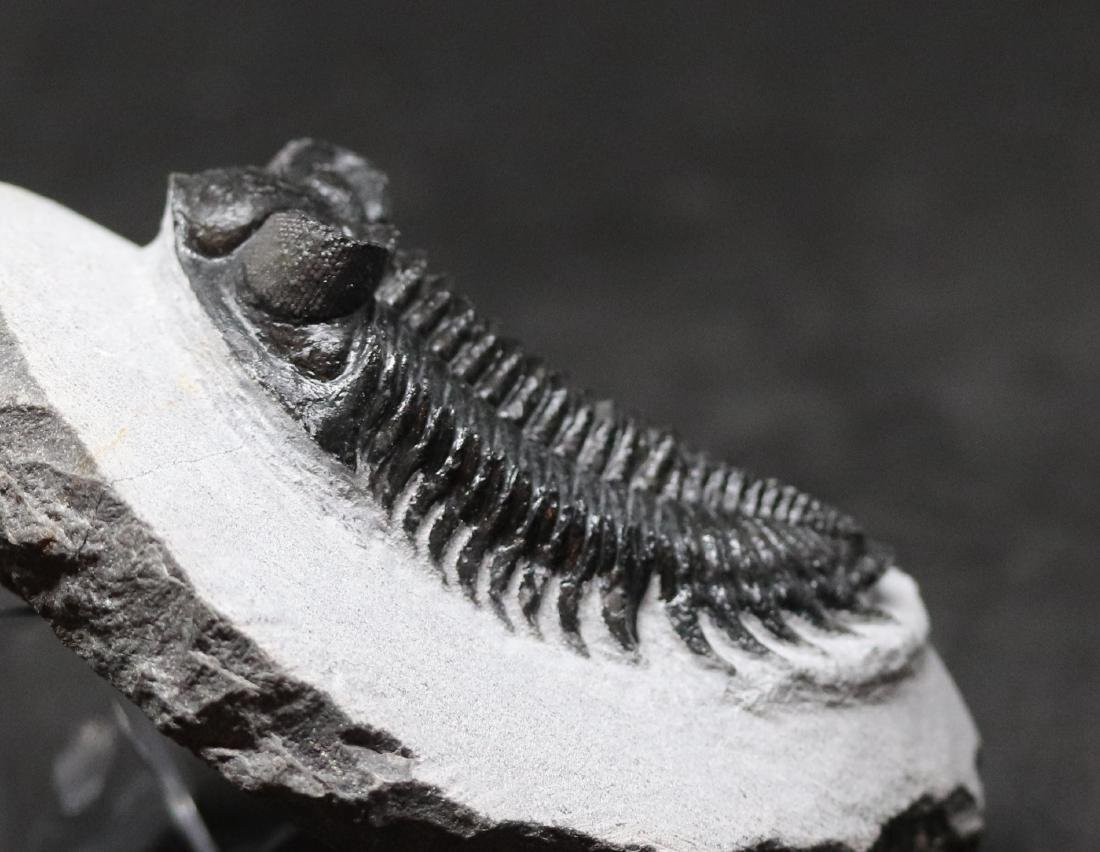Tower eyes fossil trilobite : Coltraneia oufatensis - 3