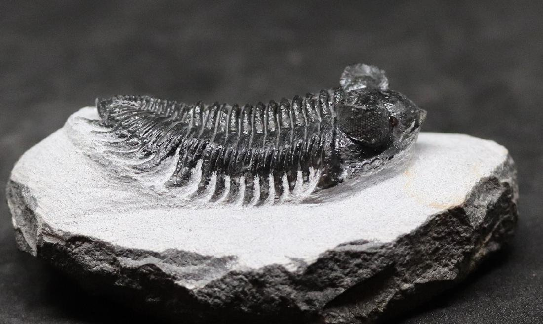 Tower eyes fossil trilobite : Coltraneia oufatensis - 5
