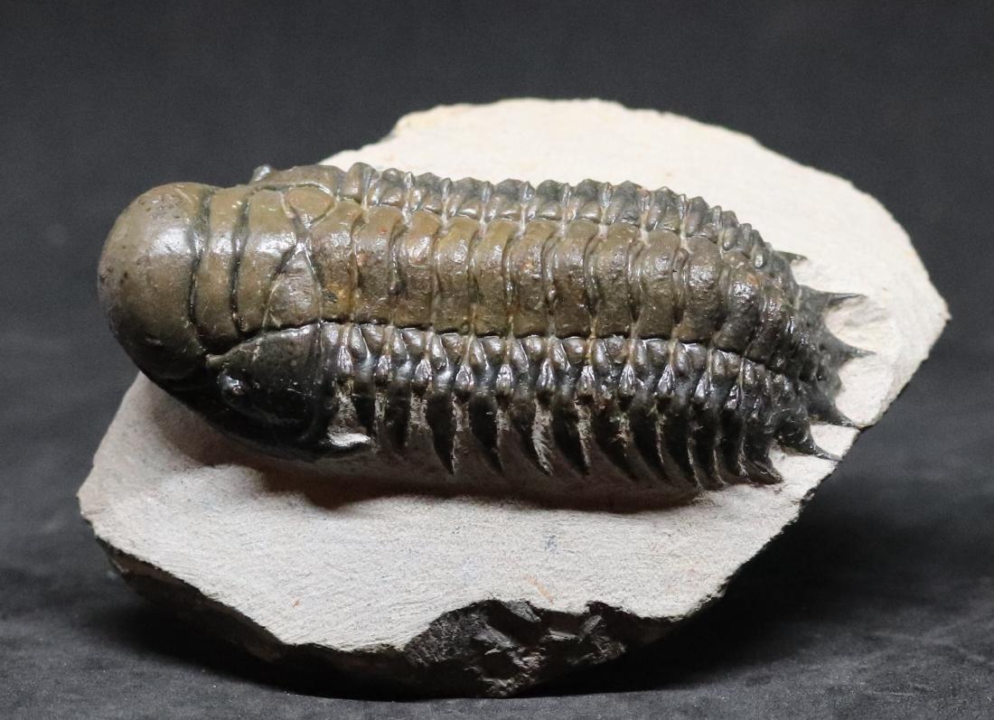 Fossil trilobite :big Crotalocephalus gibbus