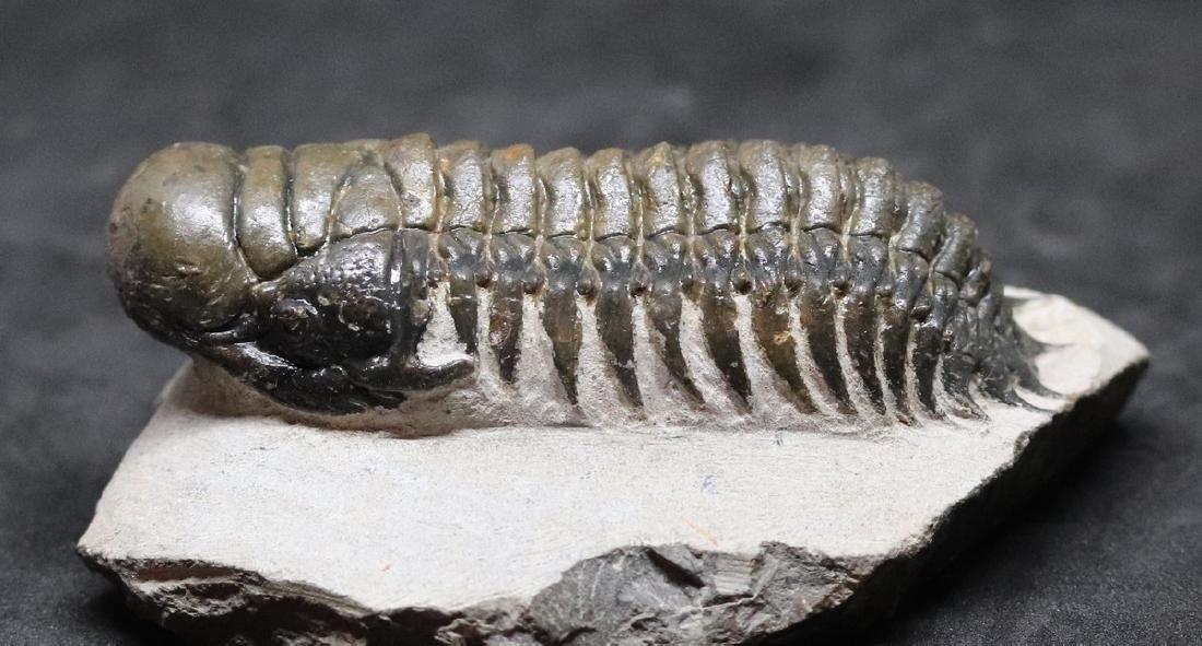 Fossil trilobite :big Crotalocephalus gibbus - 2