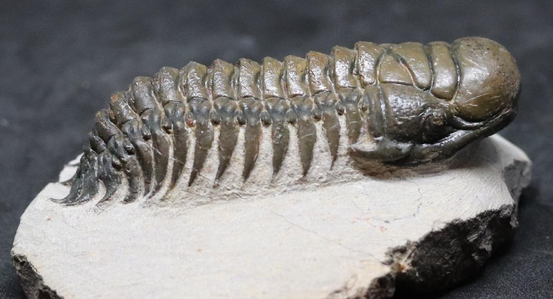 Fossil trilobite :big Crotalocephalus gibbus - 3