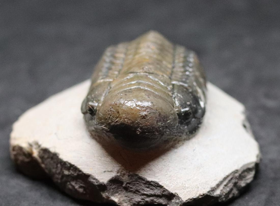 Fossil trilobite :big Crotalocephalus gibbus - 4