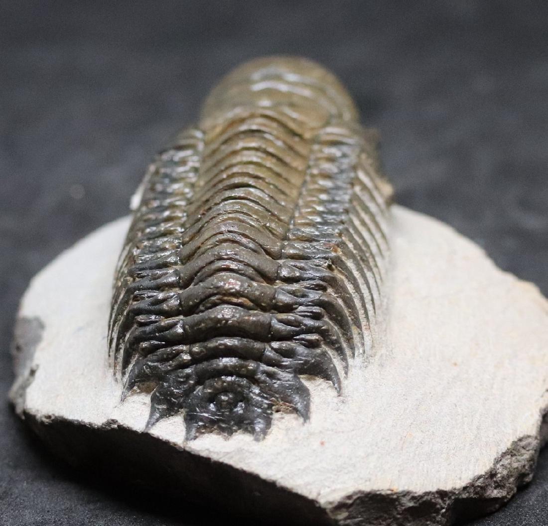 Fossil trilobite :big Crotalocephalus gibbus - 5