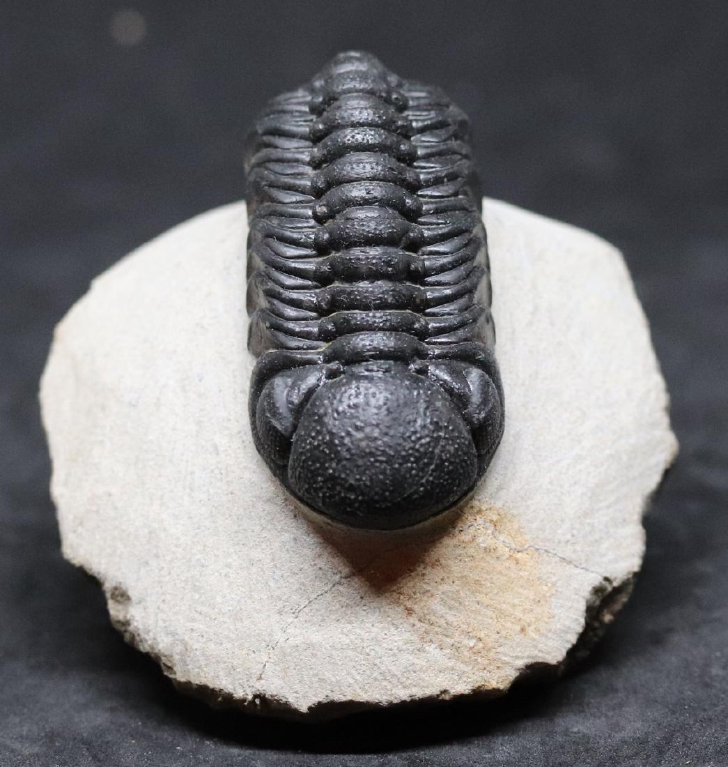 Fossil trilobite : Barrandeops - 2