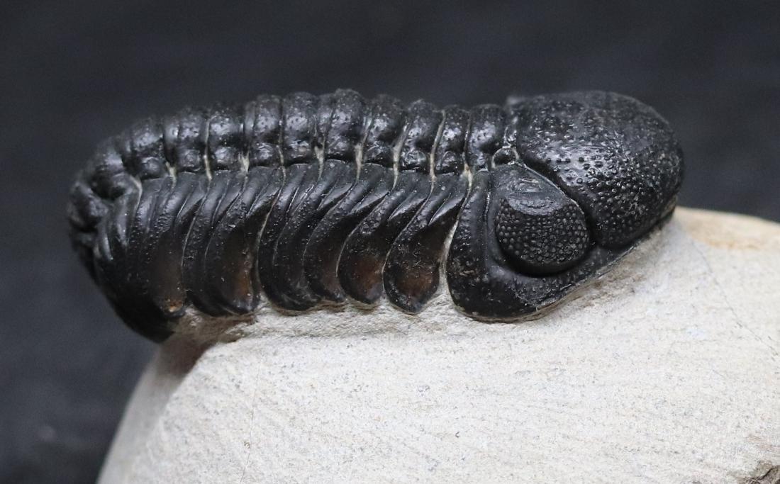 Fossil trilobite : Barrandeops - 3