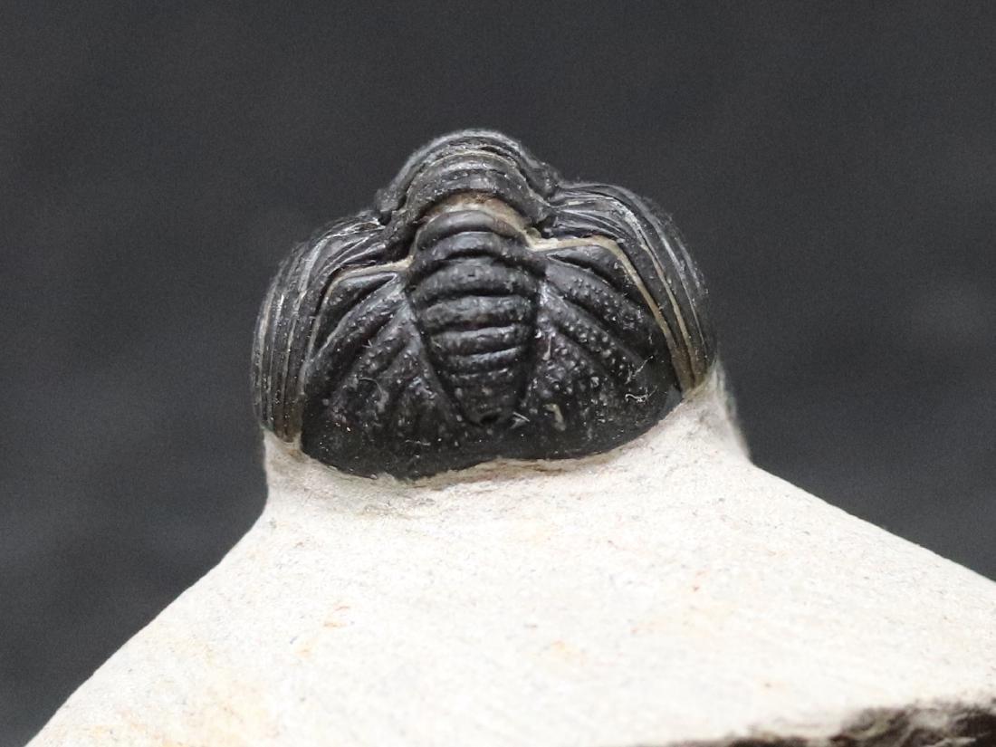 Fossil trilobite : Barrandeops - 4