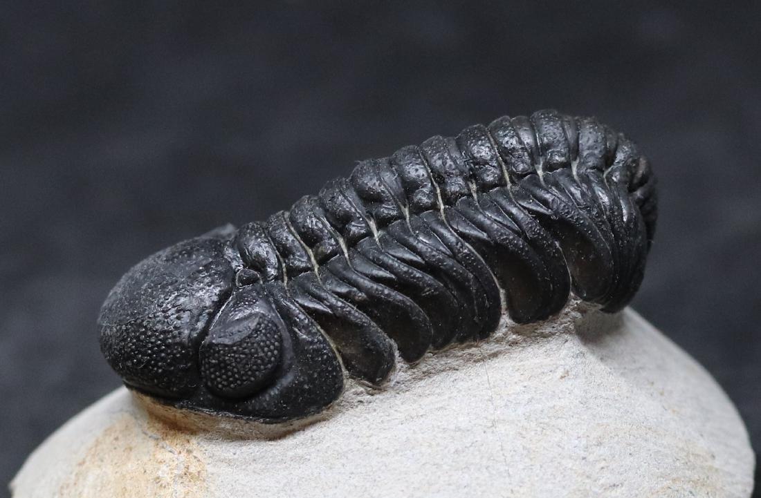 Fossil trilobite : Barrandeops - 5