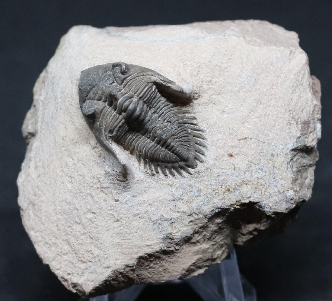 Fossil trilobite : Metacanthina issoumourensis
