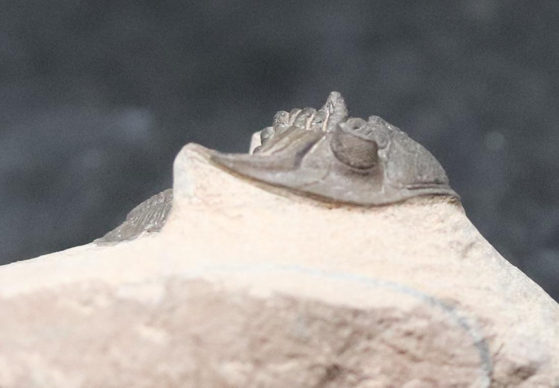 Fossil trilobite : Metacanthina issoumourensis - 2