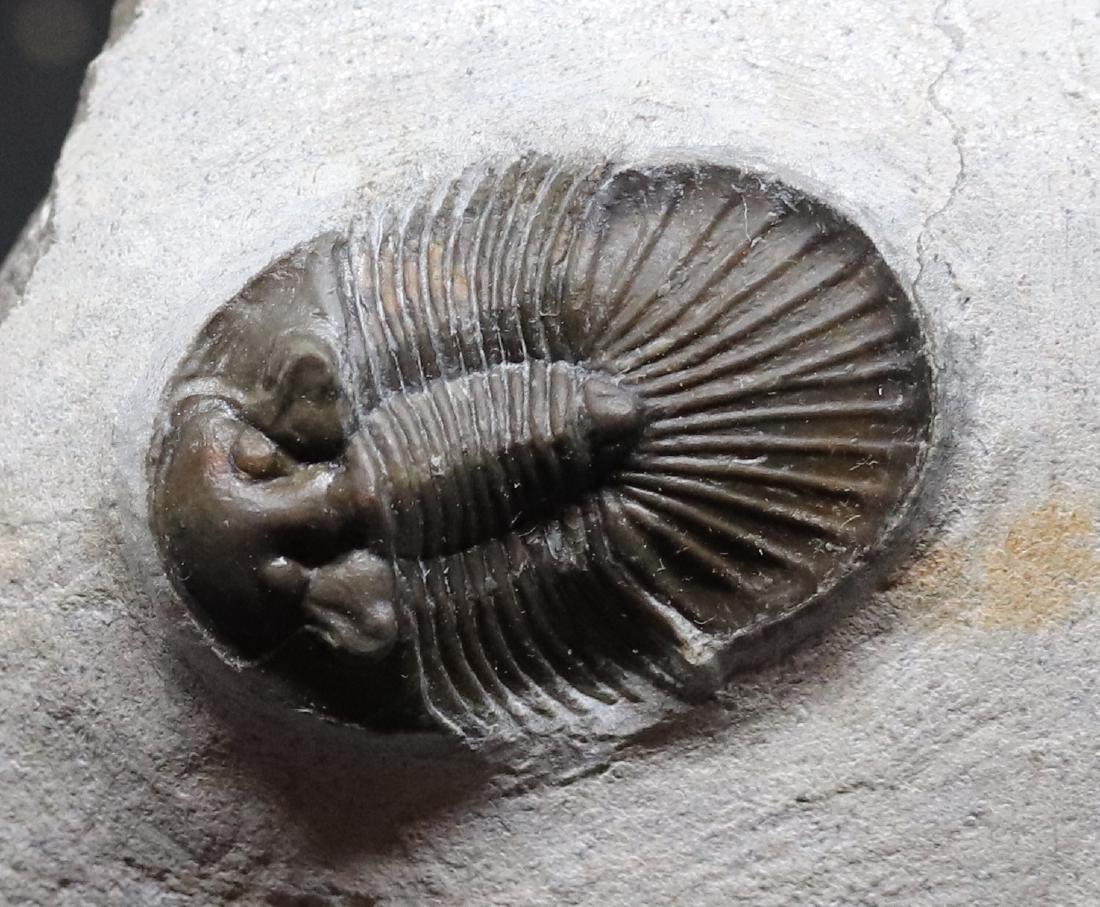 Fossil trilobite : Platyscutellum massai - 2