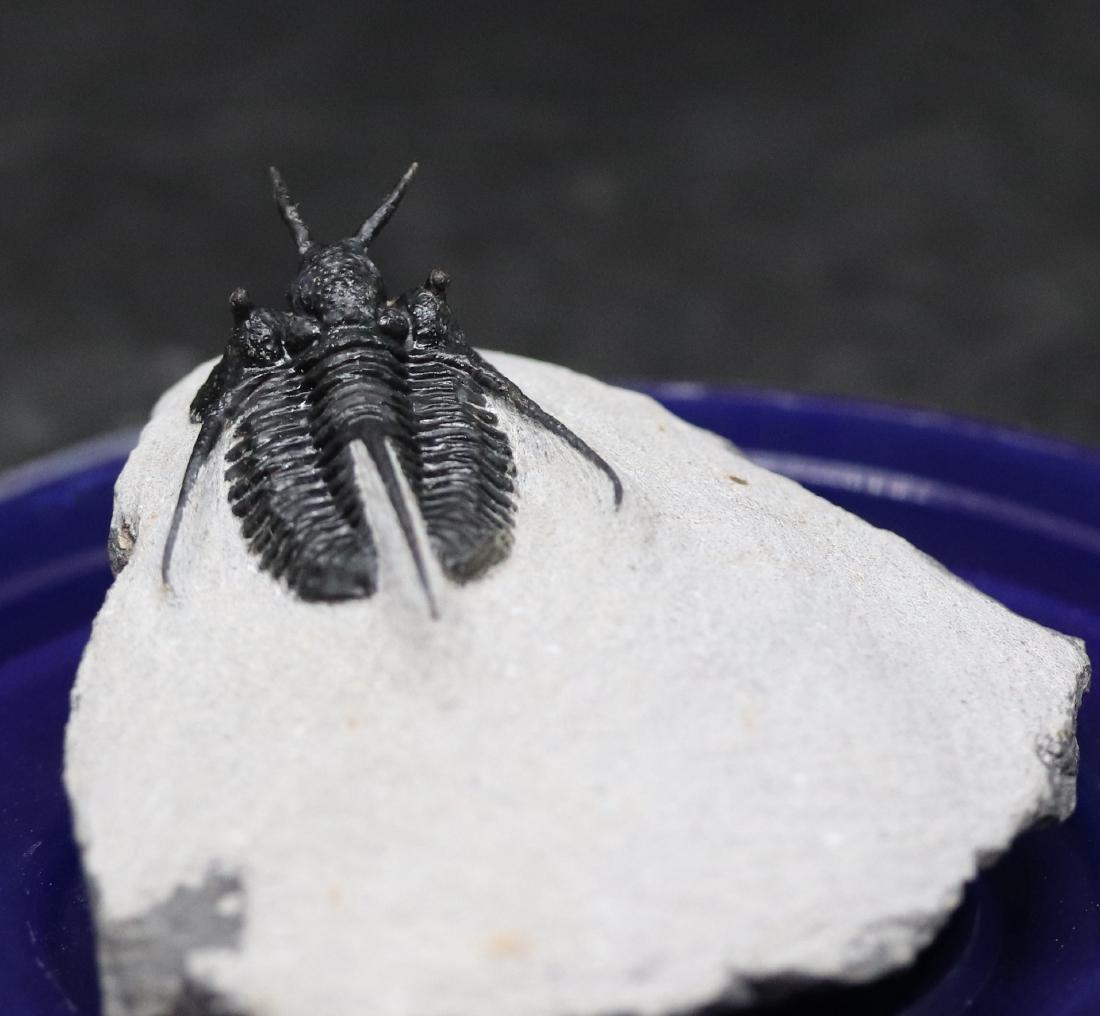 "Fossil trilobite ""devil horn"": Cyphaspis waltheri"