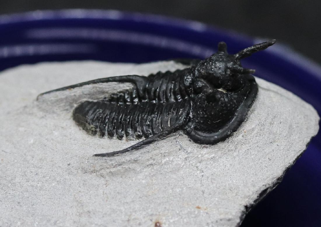 "Fossil trilobite ""devil horn"": Cyphaspis waltheri - 3"