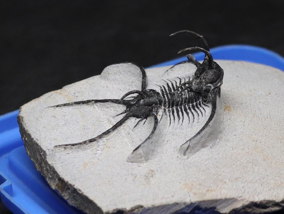 Fossil trilobite :  Ceratarges aries - 4
