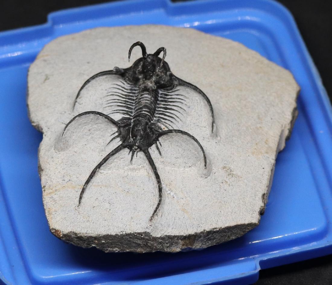 Fossil trilobite :  Ceratarges aries - 5