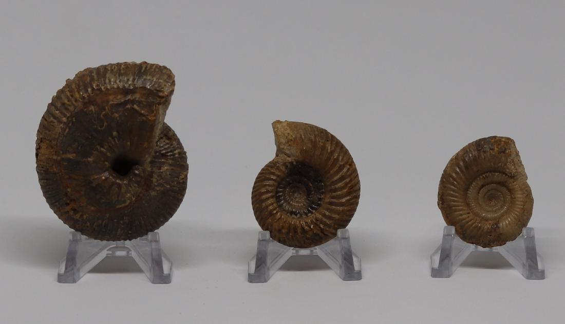 Three jurassic fossil ammonites