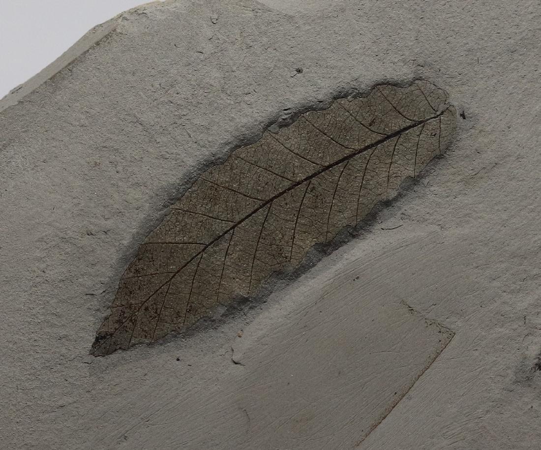 Detailed fossil leaf : Cedrelospermum nervosum