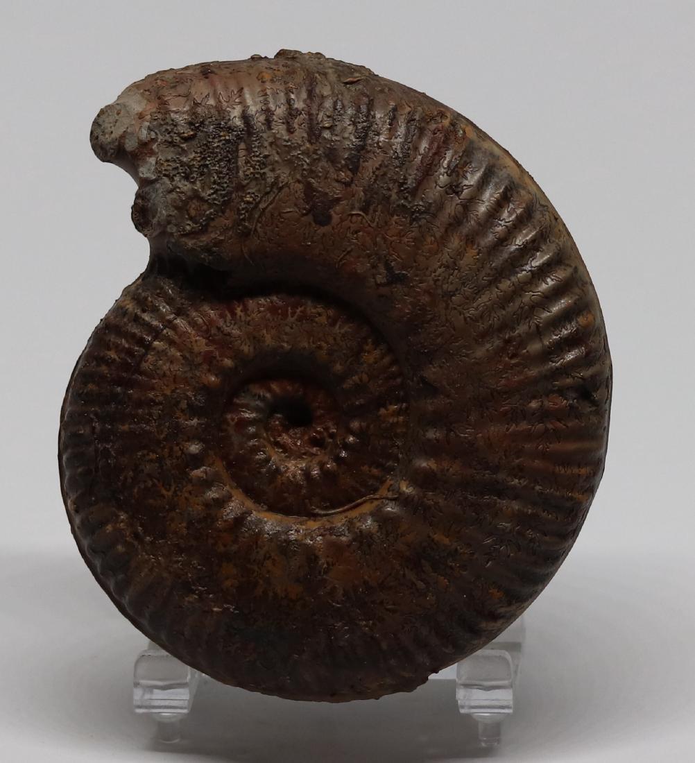 Jurassic fossil ammonite : Hammatoceras speciosum