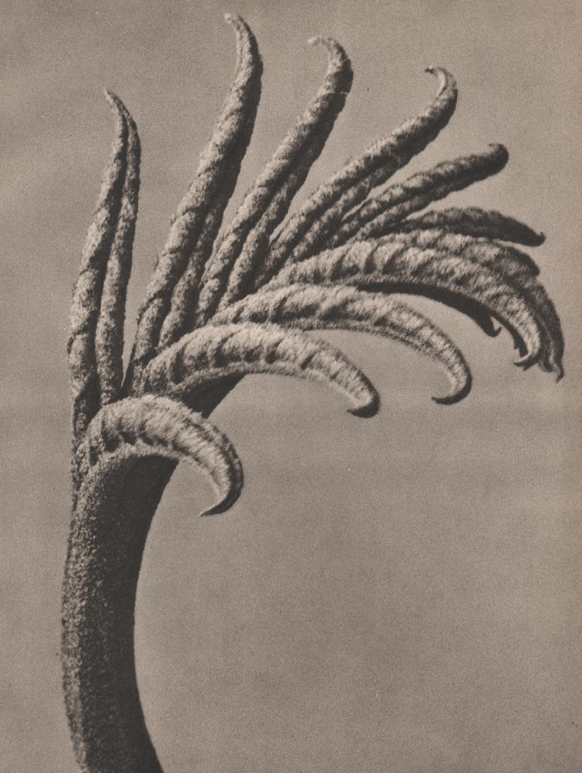 KARL BLOSSFELDT - Pterocarya fraxinifolia