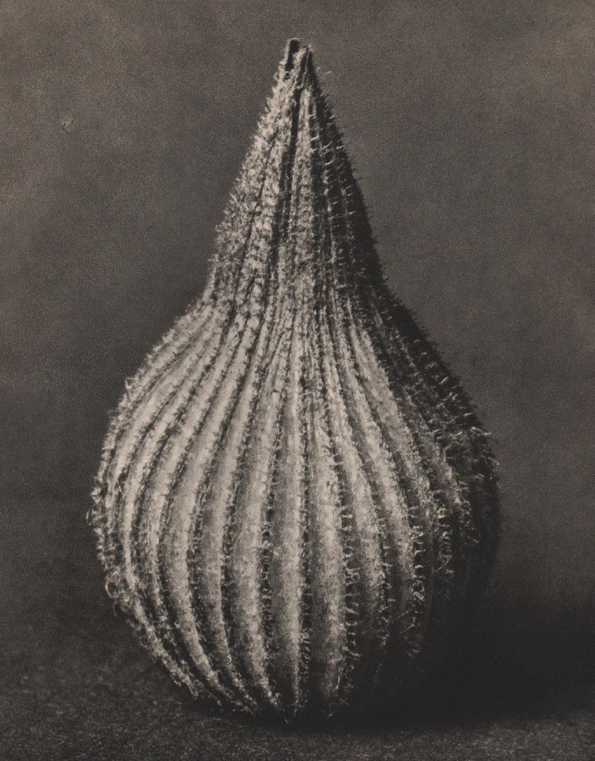 KARL BLOSSFELDT - Silene conica