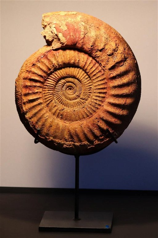 Huge ammonite on stand : Dichotomosphinctes wartae